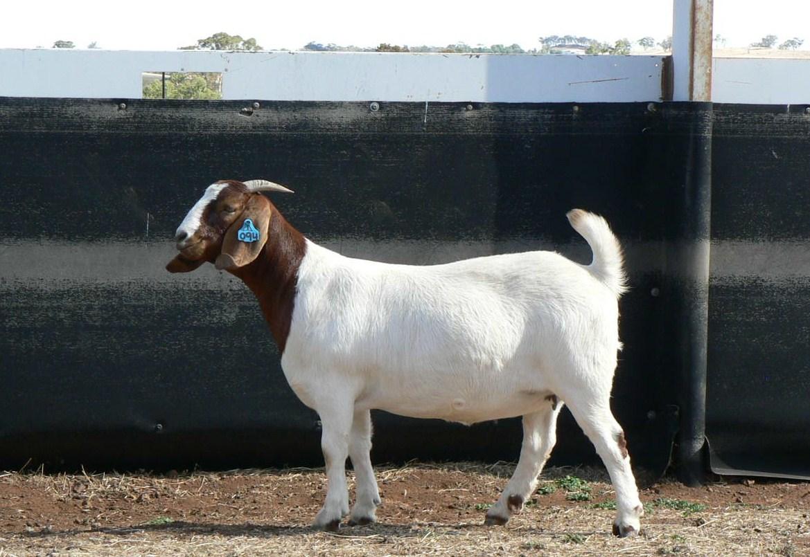 australian boer goat  u2013 cluny livestock exports pty ltd