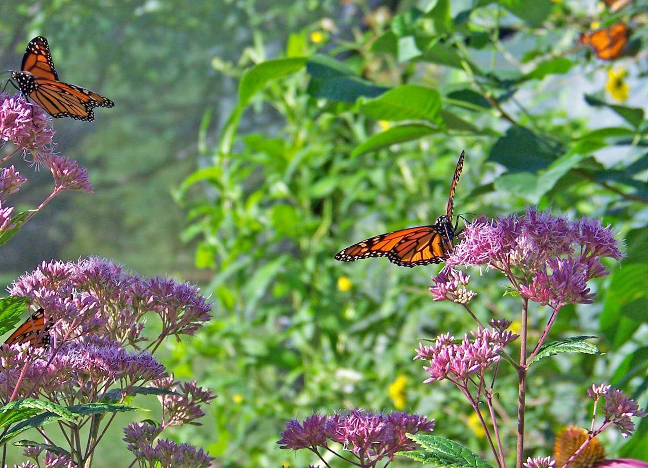 Butterflies on milkweet