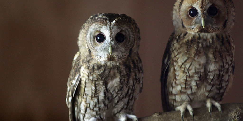 Owls Without Feathers Pictures Of Owls