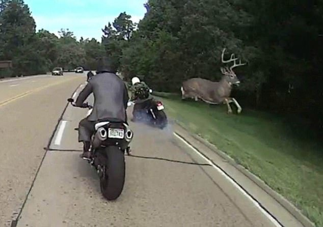 Image result for Watch a Huge Buck Come Out of Nowhere and Jump Over a Driving Motorcyclist..