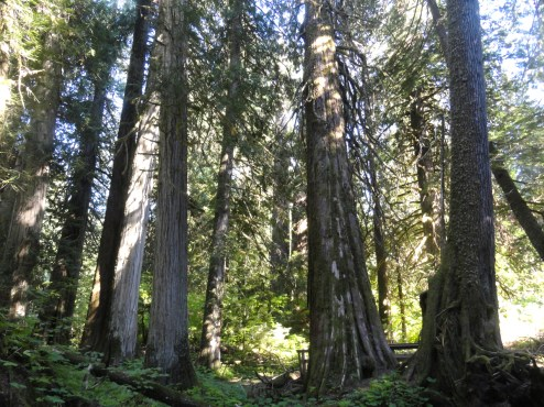 GIANT GIANT trees in the Grove of the Patriarchs