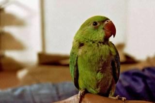 parrot bird veterinarian clyde Melbourne