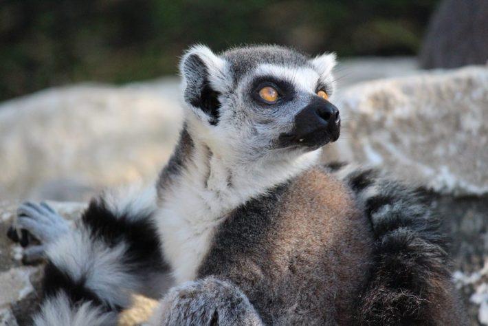 Lemur Loop Marwell