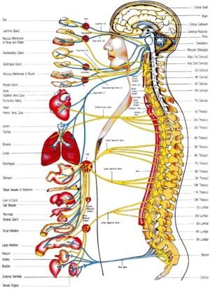 Body Systemscmapcmap