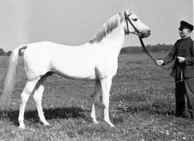 Gray Polish Arabian stallion Fetysz, born 1924.