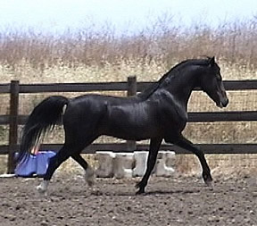 Najih [Ben Rabba x Narah Bint Neziah] showing his liberty class-winning style.
