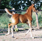 2009 chestnut colt by Latitude HD out of Brandy Sioux Jeannate.