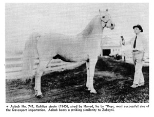 Aabab No. 741, Kehilan strain (1945), sired by Hanad, he by *Deyr, most successful sire of the Davenport importation. Aabab bears a striking similarity to Zobeyni.