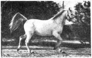 *Aziza 1926 (Jamil x Negma)