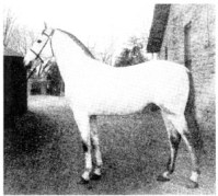KASIM, a *Leopard grandson sired by ABDUL HAMID II.