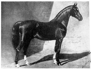 Khaled No. 5, red chestnut Arabian stallion, foaled in 1895, bred by Randolph Huntington. Standing 15-3 1/2 hands, Khaled is an outstanding example of intense in-breeding. The picture was made for James A. Lawrence, first president of the Arabian Horse Club, by the well known artist and photographer of horses, George Ford Morris. Copyrighted in 1908, this picture and the one of Nimr is used by permission of Mr. Lawrence.