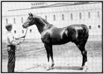 Khaled 5 15 2 1/2 hands 1160 lbs ch. s. foaled 1895 by *Nimr 232 and out of *Naomi 230, bred by Huntington.