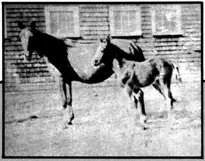 Khaletta 9 (age 15), (with Abu Bekr 304) ch m foaled Ap 13, 1903 by Khaled 5 and out of Nazlina 6, bred by Huntington.