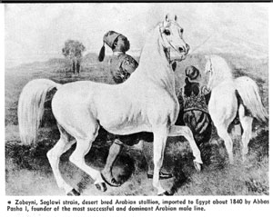 Zobeyni, Seglawi strain, desert bred Arabian stallion, imported to Egypt about 1840 by Abbas Pasha I, founder of the most successful and dominant Arabian male line.