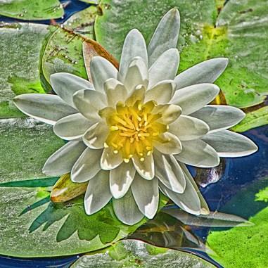 Innisfree White Lily