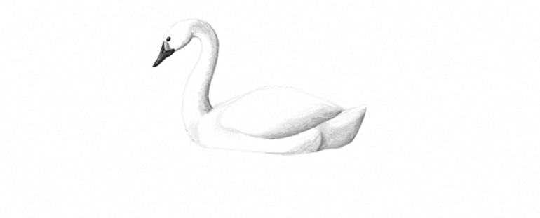 how to shade a swan