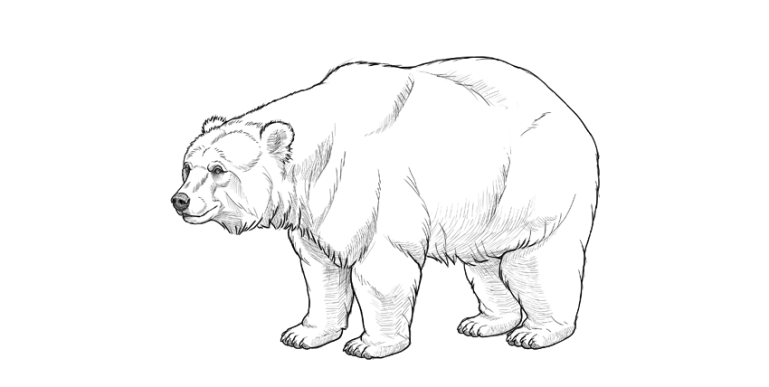 bear drawing simple shading