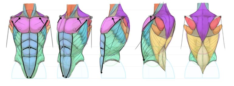 torso abdominal