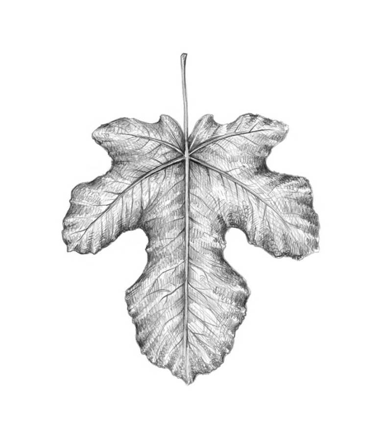 Completing the fig leaf drawing
