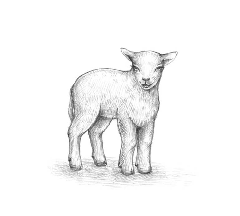 Completing the sketch of the lamb
