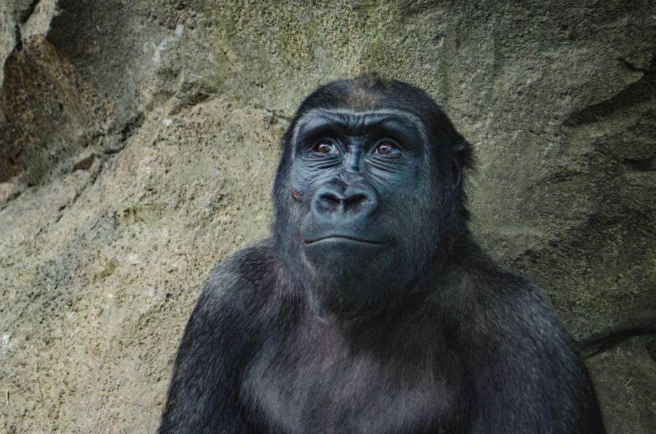 Animals and Language — Gorillas