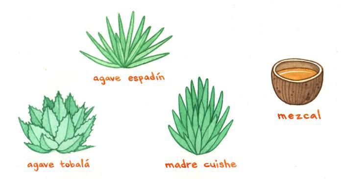 Preparazione tequila e mescal
