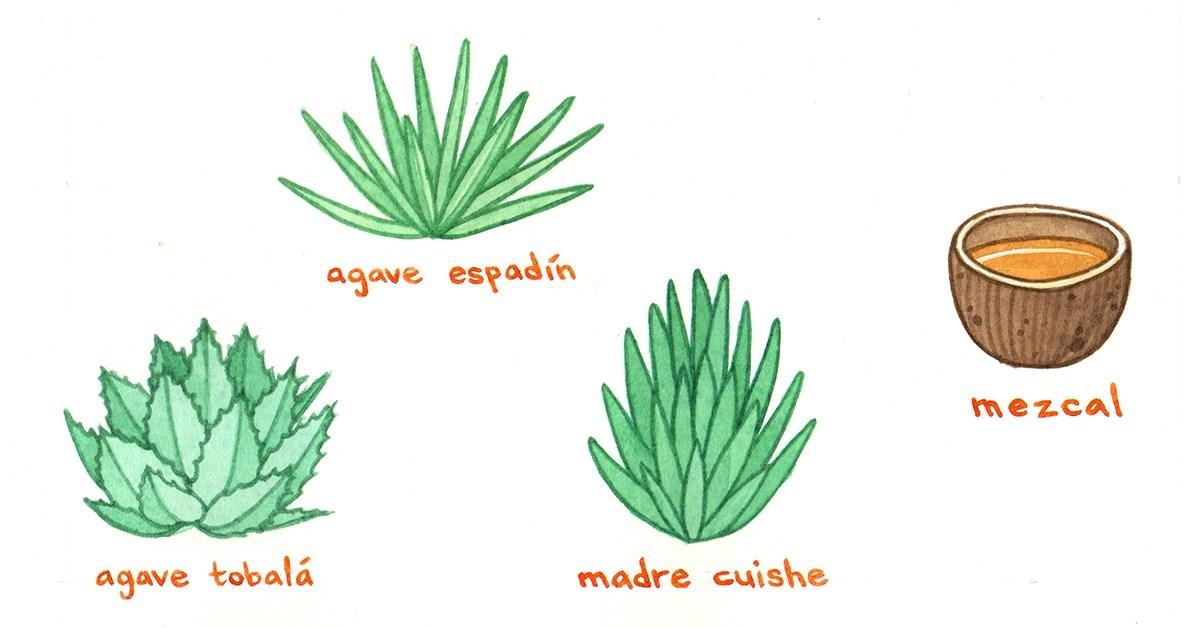Le mezcal est produit à partir de nombreuses espèces d'agave. On en dénombre 160 !