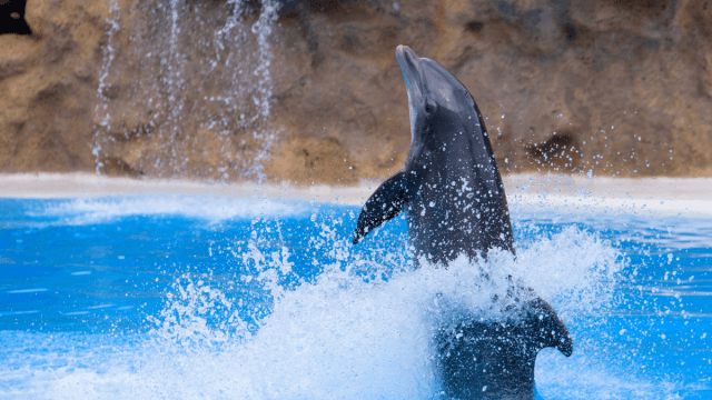 Communicating With Dolphins: Will Humans Learn Their Language?