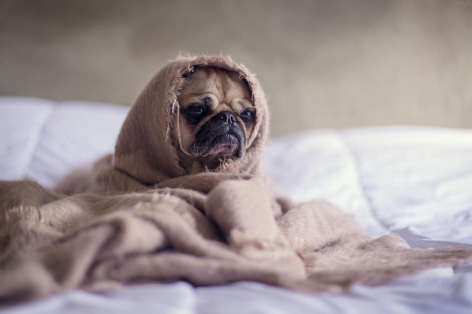 Mürrischer Welpe eingewickelt in kuschelige Decken