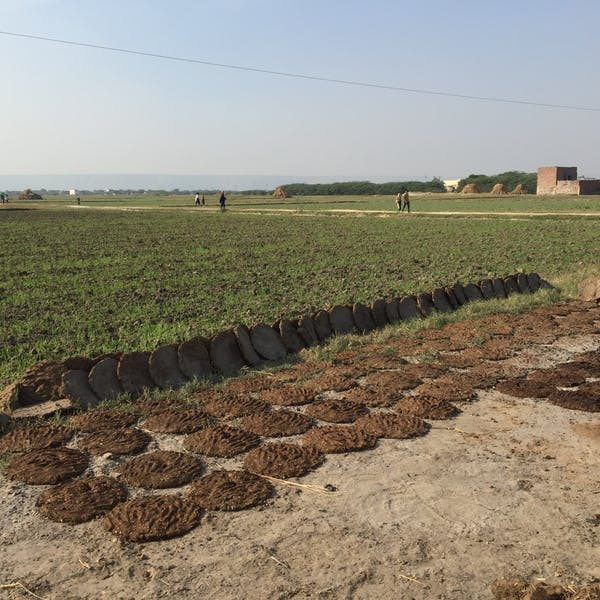 Cow dung chips drying in a field.