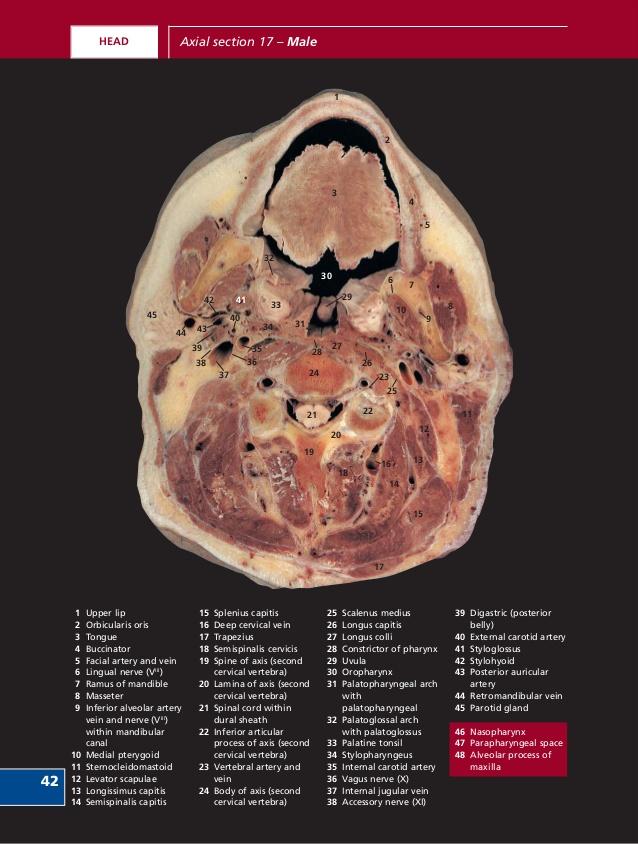 human-sectional-anatomy-pocket-atlas-of-body-sections-ct-and-mri-images-third-edition-harold-ellis-bari-m-logan-adrian-k-dixon-61-638