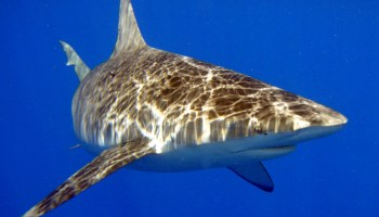 Terrifying account of a Navy SEAL killed by a shark