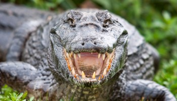 Big Phil's War (Part 5): Hunting for wild bacon and gator wrestling