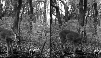 Forensic scientists release evidence of white-tailed deer eating human remains