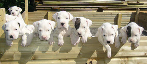cachorros-adiestramiento-perros-adiestrar-adiestrador-criadero