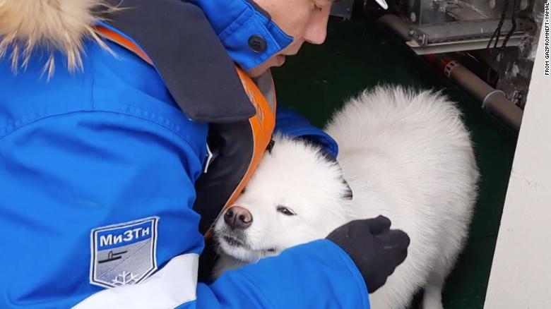 resgate de cão ártico
