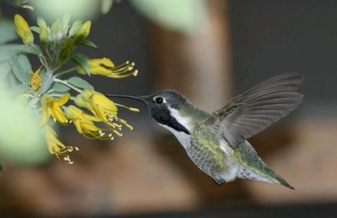 Hummingbird in a California native garden