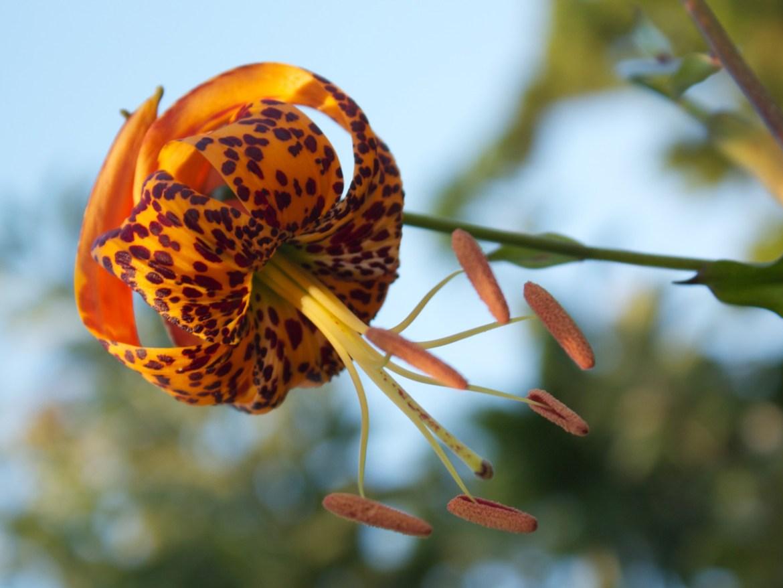 Seasonal Color July Humboldts Lily California Native Plant
