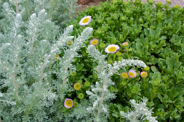 Sandhill Sage, Artemisia pycnocephela 'David's Choice' with Seaside Daisy, Erigeron glaucus 'Bountiful'