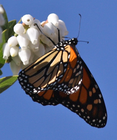Monarch butterfly on Arctostaphylos refugioensis. Photo by Laura Camp.