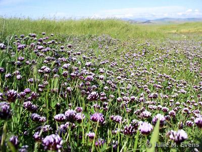 Trifolium variegatum. Credit Julie Evens.