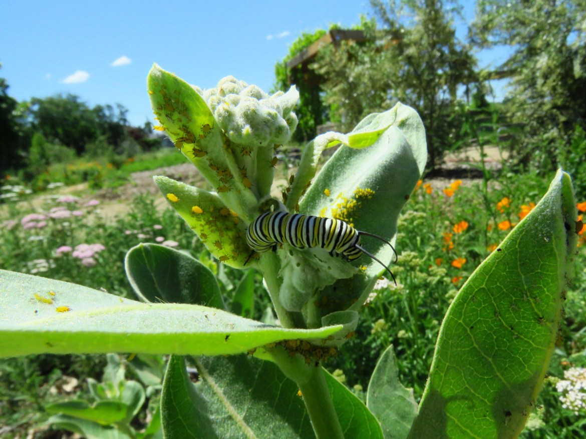 Monarch caterpillar on Snowy milkweed. Photo: Jim Wadsworth
