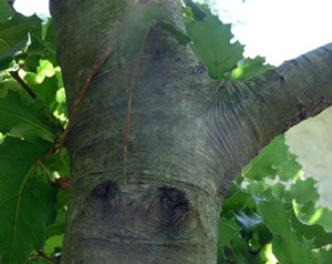 The collar on this oak tree's branch is easy to see by the wrinkles; a saw cut would be just outside them.