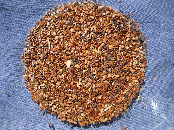 (Mostly) clean seed after winnowing.