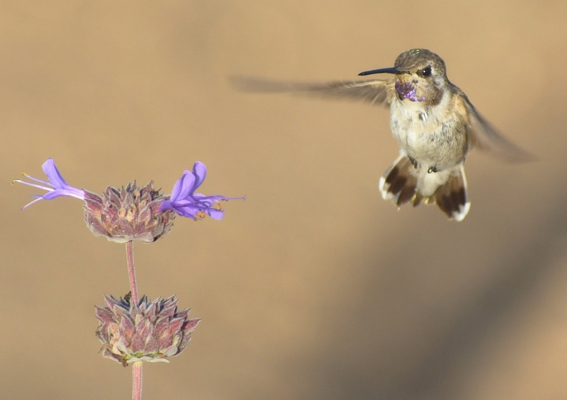 Hummingbird and Sage Photo: Tony Tubbs