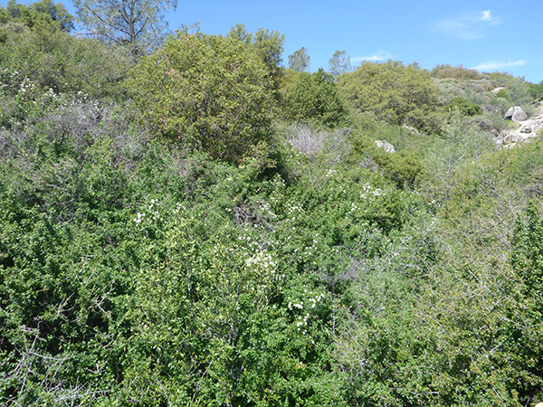 A shrubland stand with bush anemone (Carpenteria californica)