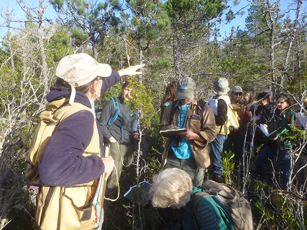 Mendocino pygmy cypress