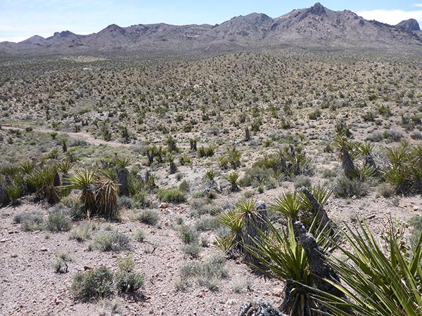 A Mojave yucca