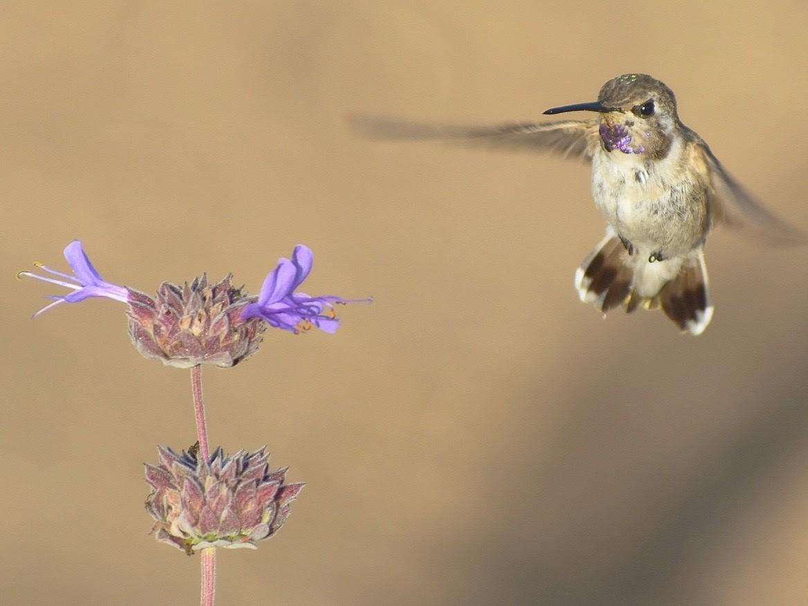 Hummingbird Gardening California Native Plant Society