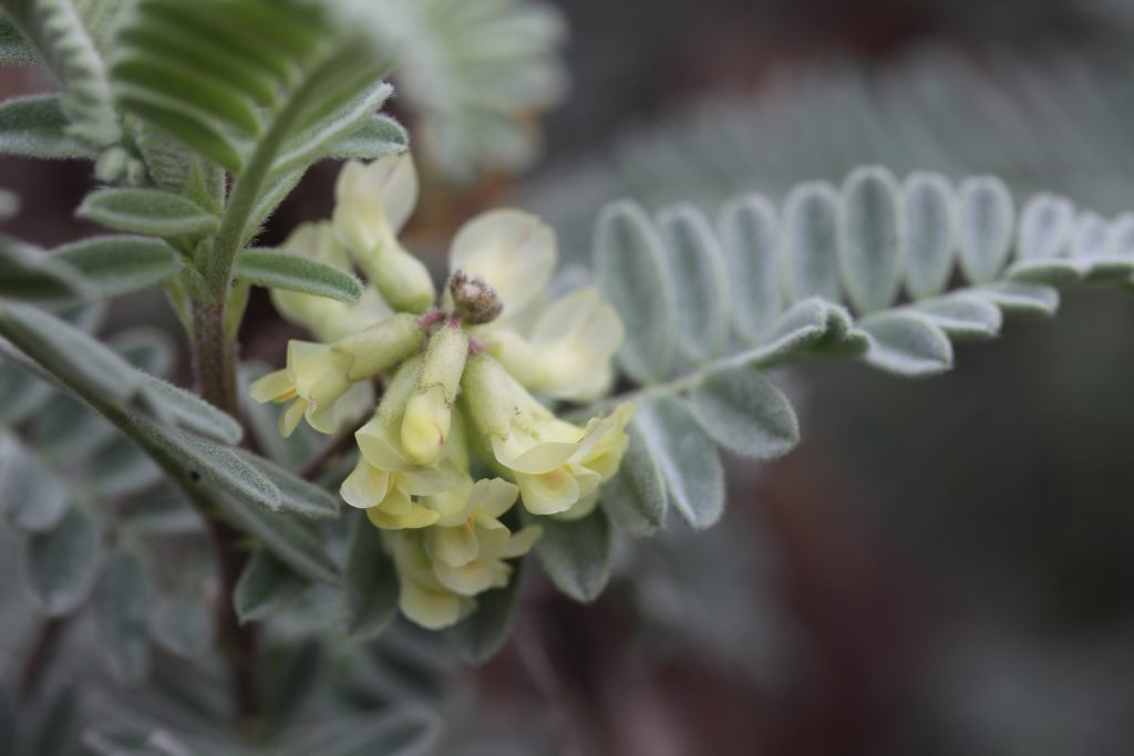Astragalus pycnostachyus lanosissimus